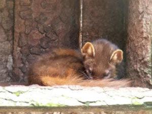Schlafender Baummarder