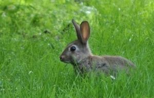 Wildkaninchen im Gras