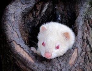 Weißer Albino Iltis