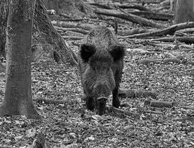 Schwarzwild im Wald