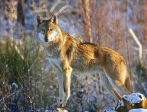 Imposanter Wolf