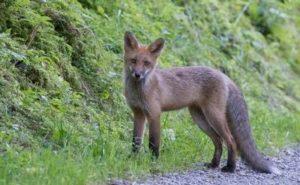 Junger Fuchs im Juli