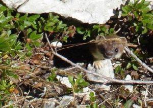 Mauswiesel im Erdloch