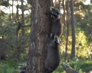 Waschbären am Baum