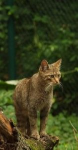 Wildkatze im Zoo