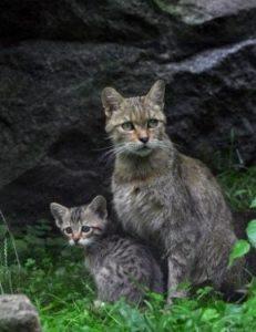 Wildkatze mit Jungtier