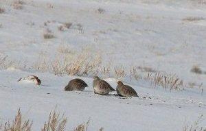 Rebhühner im Schnee