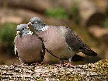 Tauben Paar
