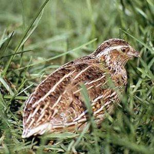 Wachtel im Gras